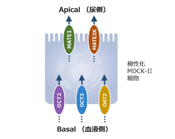 multi_transporter_model