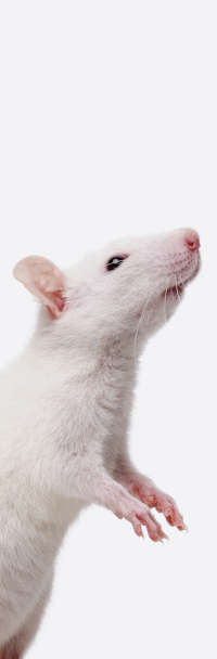 rodent-models